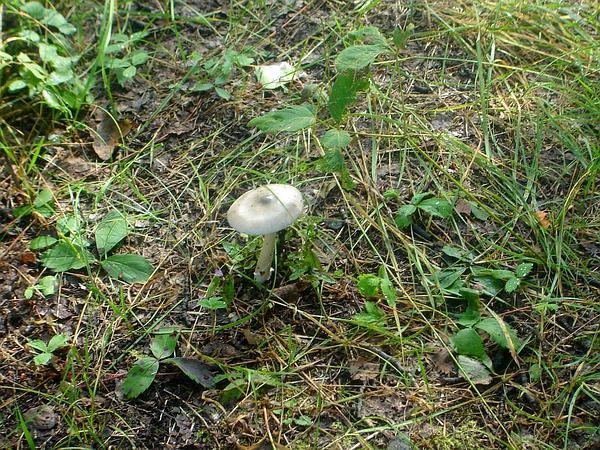 Virginia Strawberry (Fragaria Virginiana) http://www.sagebud.com/virginia-strawberry-fragaria-virginiana