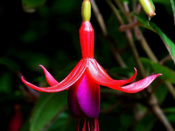 Hardy Fuchsia (Fuchsia Magellanica) http://www.sagebud.com/hardy-fuchsia-fuchsia-magellanica