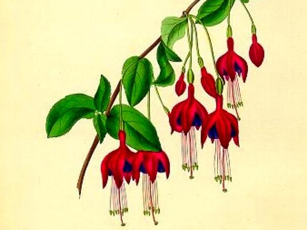 Hardy Fuchsia (Fuchsia Magellanica) http://www.sagebud.com/hardy-fuchsia-fuchsia-magellanica/