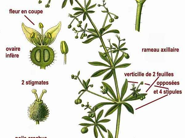 Stickywilly (Galium Aparine) http://www.sagebud.com/stickywilly-galium-aparine/