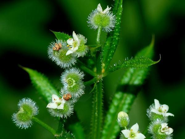 Stickywilly (Galium Aparine) http://www.sagebud.com/stickywilly-galium-aparine