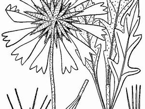 Common Gaillardia