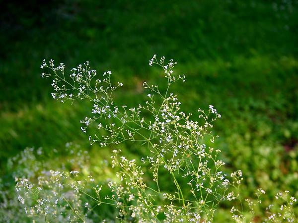 Awned Bedstraw (Galium Aristatum) http://www.sagebud.com/awned-bedstraw-galium-aristatum/