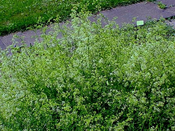 Northern Bedstraw (Galium Boreale) http://www.sagebud.com/northern-bedstraw-galium-boreale/