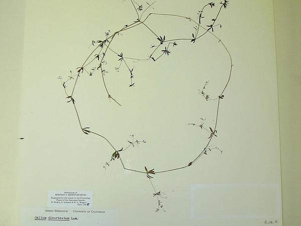 Lamarck's Bedstraw (Galium Divaricatum) http://www.sagebud.com/lamarcks-bedstraw-galium-divaricatum