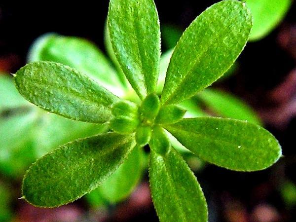 Bedstraw (Galium) http://www.sagebud.com/bedstraw-galium/