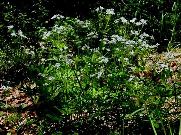 Sweetscented Bedstraw (Galium Odoratum) http://www.sagebud.com/sweetscented-bedstraw-galium-odoratum/