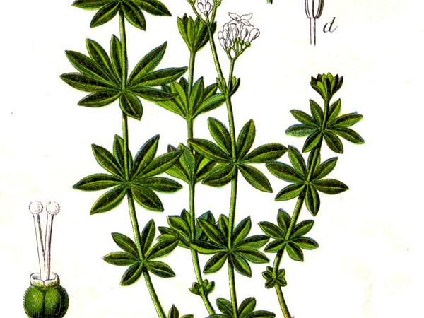 Sweetscented Bedstraw (Galium Odoratum) http://www.sagebud.com/sweetscented-bedstraw-galium-odoratum