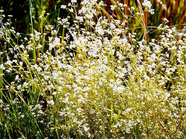 Common Marsh Bedstraw (Galium Palustre) http://www.sagebud.com/common-marsh-bedstraw-galium-palustre