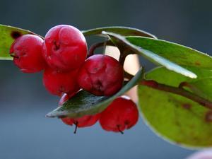 Eastern Teaberry