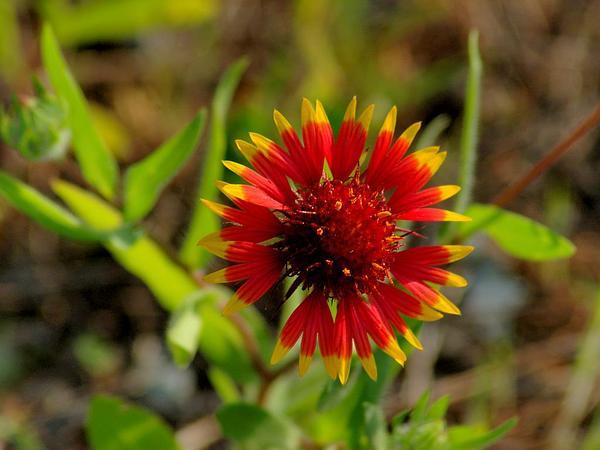 Firewheel (Gaillardia Pulchella) http://www.sagebud.com/firewheel-gaillardia-pulchella/