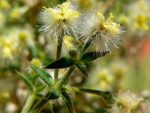 Starry Bedstraw (Galium Stellatum) http://www.sagebud.com/starry-bedstraw-galium-stellatum