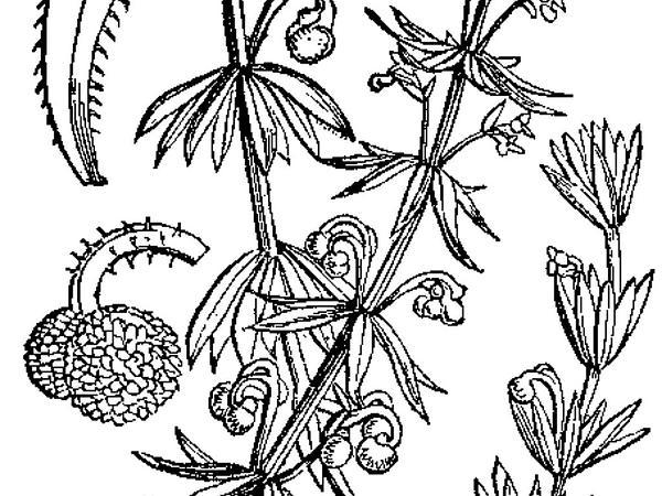 Roughfruit Corn Bedstraw (Galium Tricornutum) http://www.sagebud.com/roughfruit-corn-bedstraw-galium-tricornutum