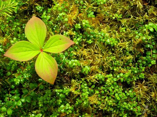 Snowberry (Gaultheria) http://www.sagebud.com/snowberry-gaultheria