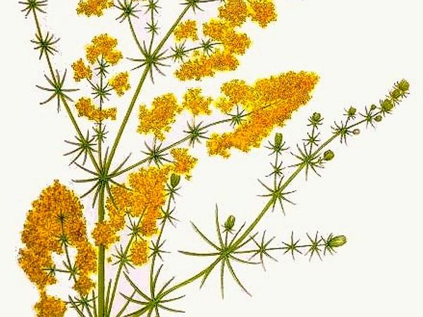 Yellow Spring Bedstraw (Galium Verum) http://www.sagebud.com/yellow-spring-bedstraw-galium-verum/