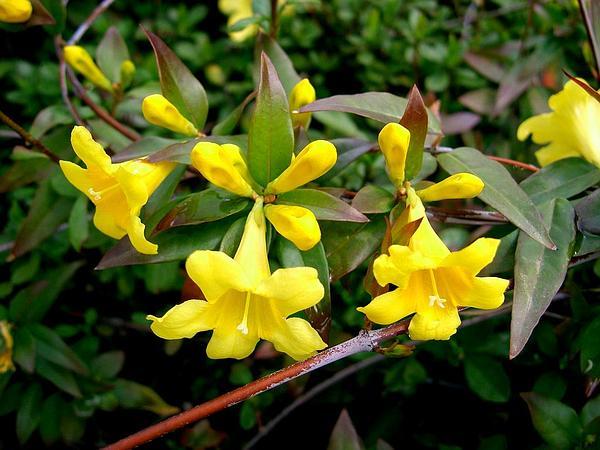 Trumpetflower (Gelsemium) http://www.sagebud.com/trumpetflower-gelsemium