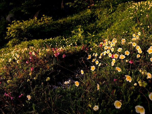 Aleutian Avens (Geum Pentapetalum) http://www.sagebud.com/aleutian-avens-geum-pentapetalum