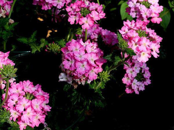 Mock Vervain (Glandularia) http://www.sagebud.com/mock-vervain-glandularia
