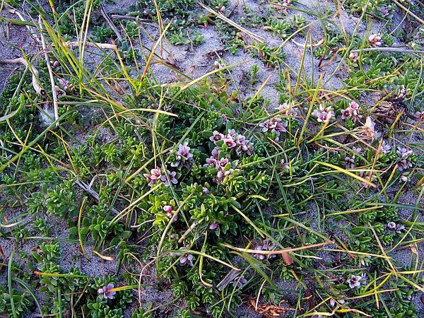 Milkwort (Glaux) http://www.sagebud.com/milkwort-glaux