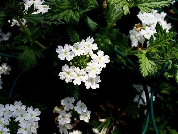 Dakota Mock Vervain (Glandularia Bipinnatifida) http://www.sagebud.com/dakota-mock-vervain-glandularia-bipinnatifida/