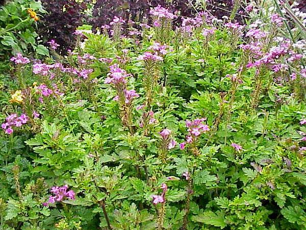 Rose Mock Vervain (Glandularia Canadensis) http://www.sagebud.com/rose-mock-vervain-glandularia-canadensis