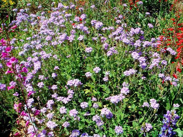 Southwestern Mock Vervain (Glandularia Gooddingii) http://www.sagebud.com/southwestern-mock-vervain-glandularia-gooddingii/