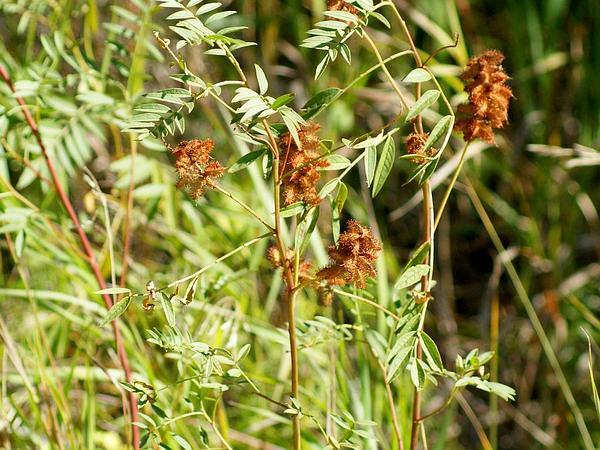 American Licorice (Glycyrrhiza Lepidota) http://www.sagebud.com/american-licorice-glycyrrhiza-lepidota/