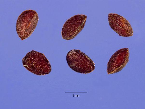 Sea Milkwort (Glaux Maritima) http://www.sagebud.com/sea-milkwort-glaux-maritima/