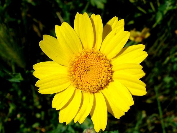 Corndaisy (Glebionis Segetum) http://www.sagebud.com/corndaisy-glebionis-segetum/