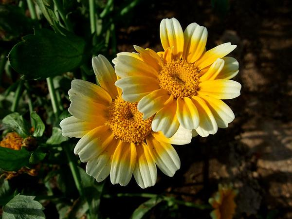 Corndaisy (Glebionis Segetum) http://www.sagebud.com/corndaisy-glebionis-segetum