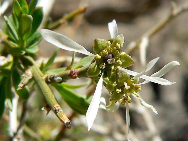 Spiny Greasebush (Glossopetalon Spinescens) http://www.sagebud.com/spiny-greasebush-glossopetalon-spinescens