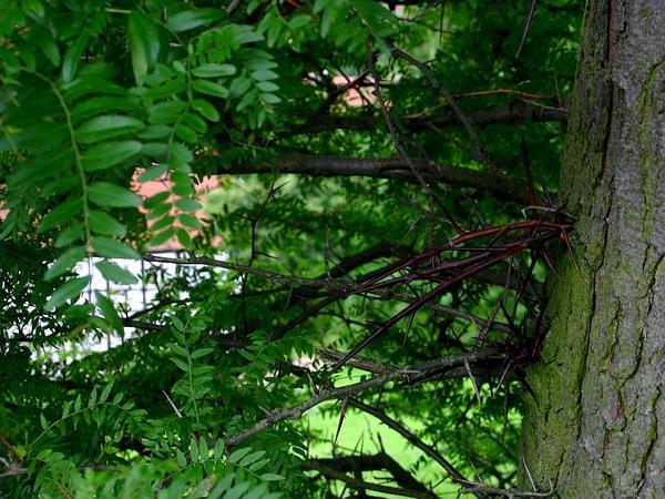 Honeylocust (Gleditsia Triacanthos) http://www.sagebud.com/honeylocust-gleditsia-triacanthos