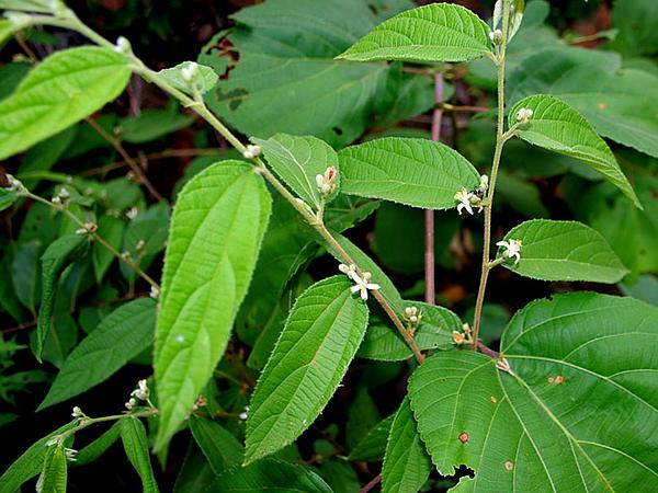 Grewia (Grewia) http://www.sagebud.com/grewia-grewia/