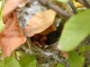 GUAZU/Ashy_Prinia_(Prinia_socialis)_nest-_eggs_in_West_Indian_Elm_(Guazuma_ulmifolia)_in_Hyderabad,_AP_W_IMG_7496_300.jpg