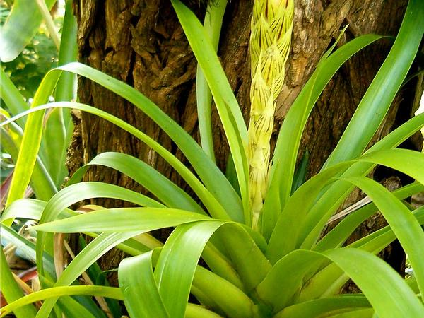 West Indian Tufted Airplant (Guzmania Monostachia) http://www.sagebud.com/west-indian-tufted-airplant-guzmania-monostachia/