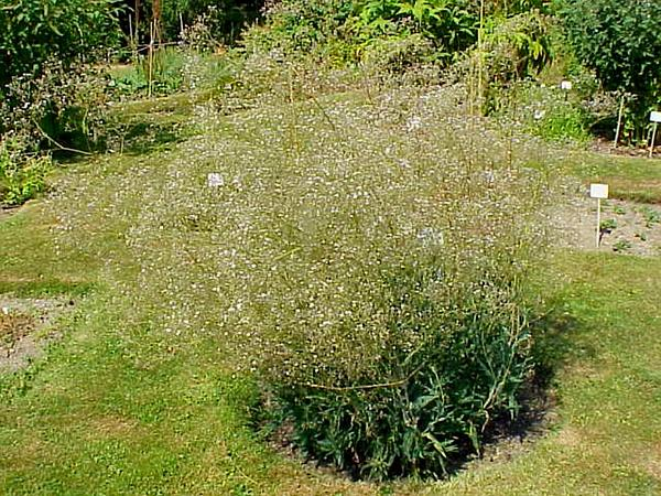 Sharpleaf Baby's-Breath (Gypsophila Acutifolia) http://www.sagebud.com/sharpleaf-babys-breath-gypsophila-acutifolia/