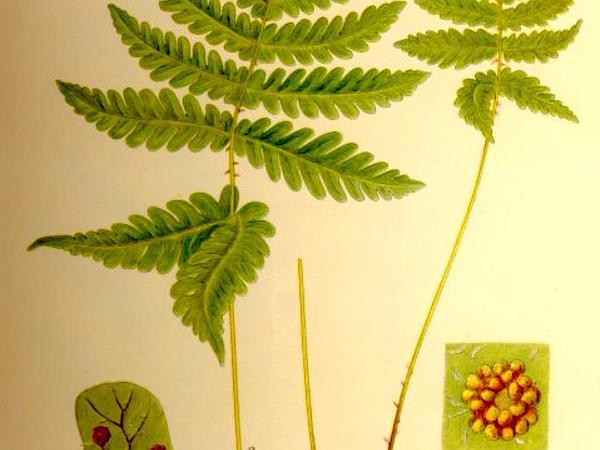 Western Oakfern (Gymnocarpium Dryopteris) http://www.sagebud.com/western-oakfern-gymnocarpium-dryopteris