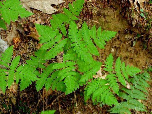 Western Oakfern (Gymnocarpium Dryopteris) http://www.sagebud.com/western-oakfern-gymnocarpium-dryopteris/