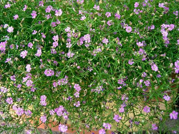Low Baby's-Breath (Gypsophila Muralis) http://www.sagebud.com/low-babys-breath-gypsophila-muralis/