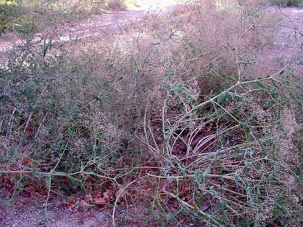 Baby's Breath (Gypsophila Paniculata) http://www.sagebud.com/babys-breath-gypsophila-paniculata