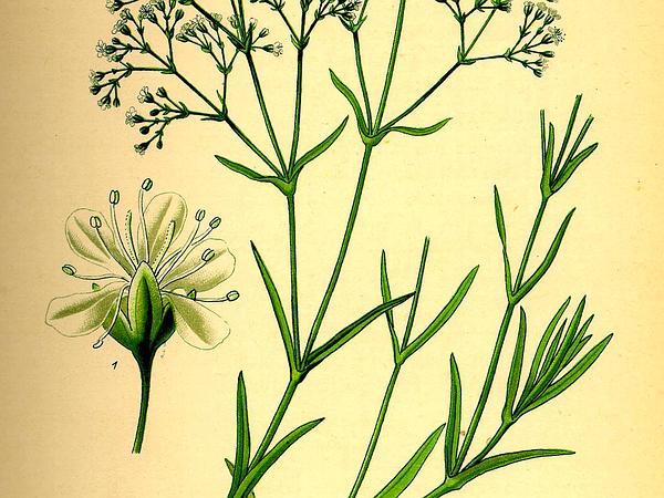 Baby's Breath (Gypsophila Paniculata) http://www.sagebud.com/babys-breath-gypsophila-paniculata/
