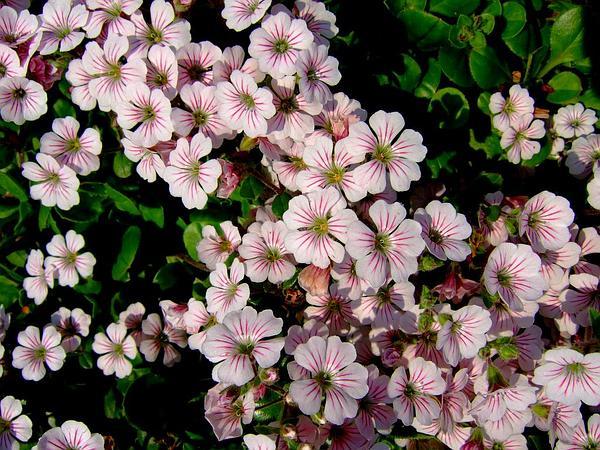 Baby's-Breath (Gypsophila) http://www.sagebud.com/babys-breath-gypsophila