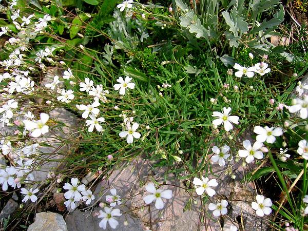 Creeping Baby's-Breath (Gypsophila Repens) http://www.sagebud.com/creeping-babys-breath-gypsophila-repens/