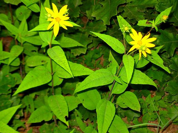 Woodland Sunflower (Helianthus Divaricatus) http://www.sagebud.com/woodland-sunflower-helianthus-divaricatus