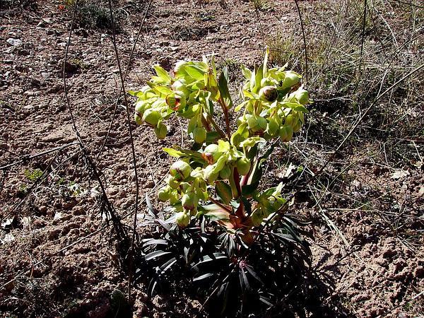 Setterwort (Helleborus Foetidus) http://www.sagebud.com/setterwort-helleborus-foetidus
