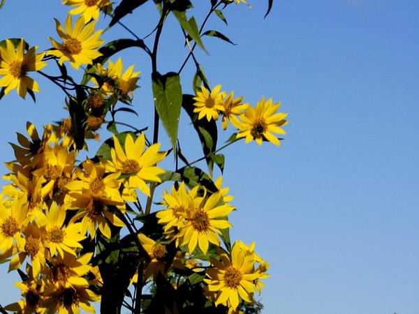 Sawtooth Sunflower (Helianthus Grosseserratus) http://www.sagebud.com/sawtooth-sunflower-helianthus-grosseserratus