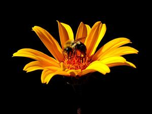 HEHE5/False_Sunflower_Heliopsis_helianthoides_'Summer_Nights'_Bee_300.jpg