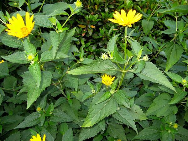 Smooth Oxeye (Heliopsis Helianthoides) http://www.sagebud.com/smooth-oxeye-heliopsis-helianthoides/
