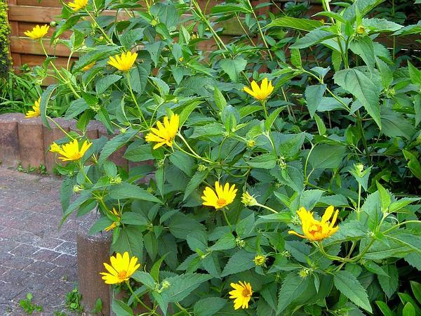Heliopsis (Heliopsis) http://www.sagebud.com/heliopsis-heliopsis/