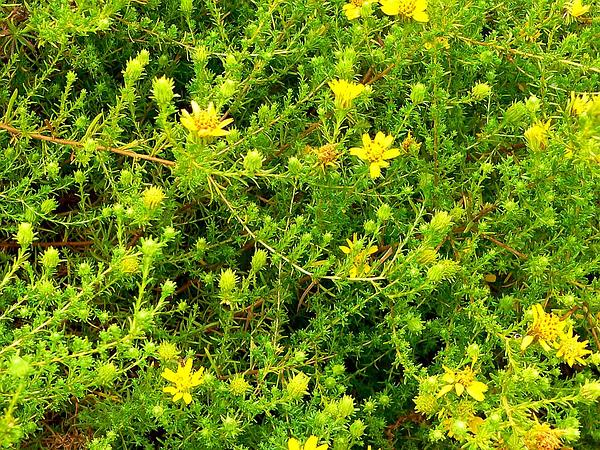Tarweed (Hemizonia) http://www.sagebud.com/tarweed-hemizonia